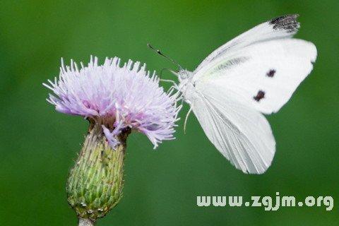 梦见白蝴蝶