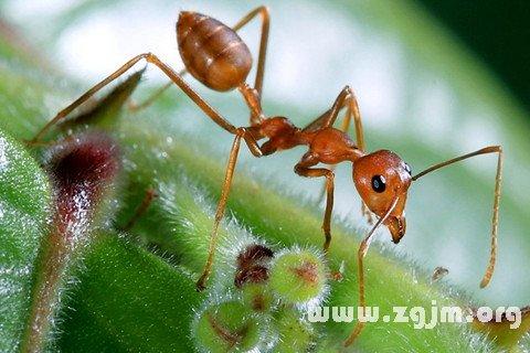 梦见蚂蚁在游行
