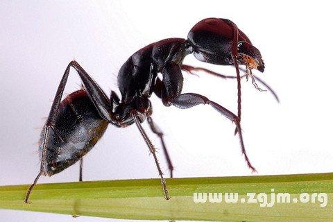梦见蚂蚁嘴叼东西