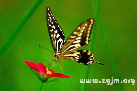 梦见断了翅膀的蝴蝶