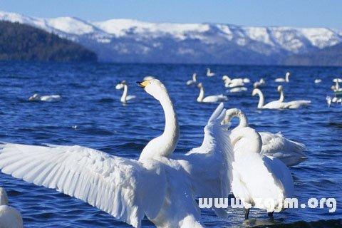 梦见天鹅在蔚蓝的湖面上游荡