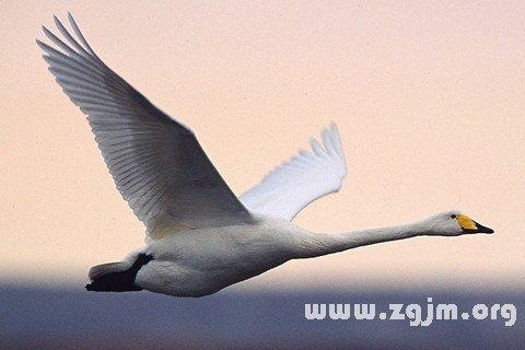 梦见天鹅在空中飞翔