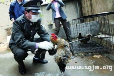 梦见杀母鸡