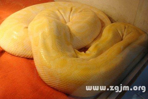 孕妇梦见金色蟒蛇,(周公解梦 www.zgjm.org)预示着生贵子.