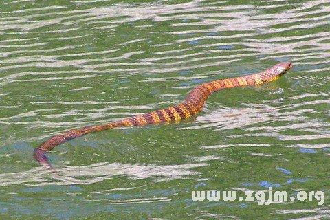梦见蛇入水中或水田