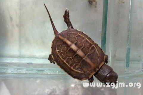 梦见乌龟爬入门内