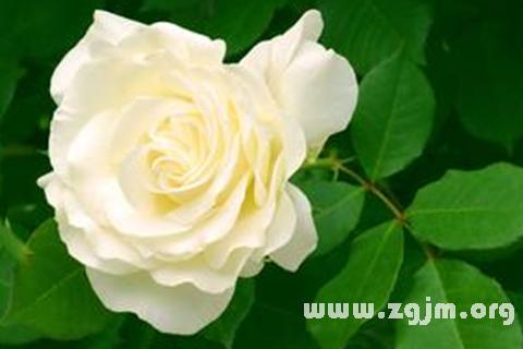 梦见白玫瑰