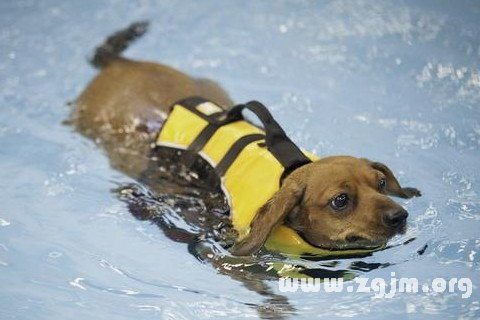 梦见狗在游泳