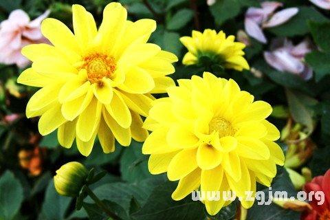 梦见黄色花朵