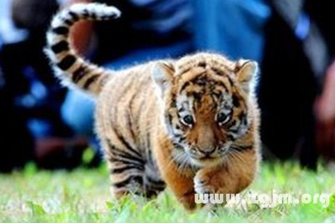 梦见小老虎