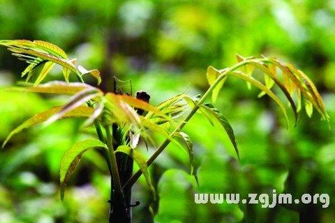 梦见香椿树