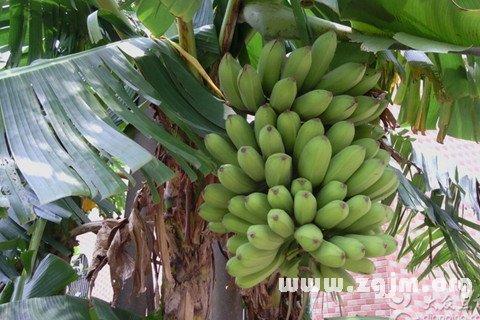 梦见树上结满了香蕉
