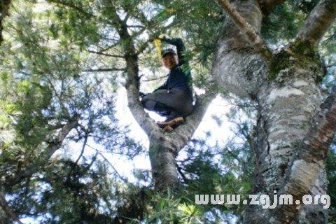 梦见爬上松树