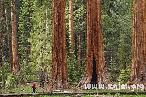 梦见红杉树