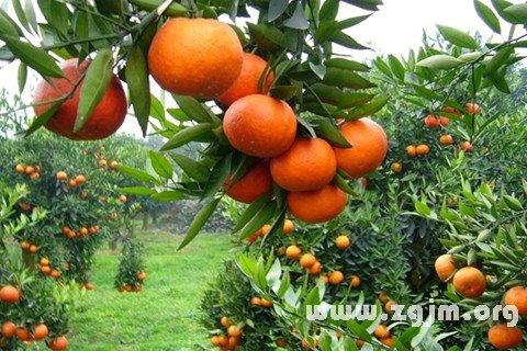 梦见橘子树