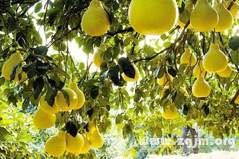 梦见柚子树