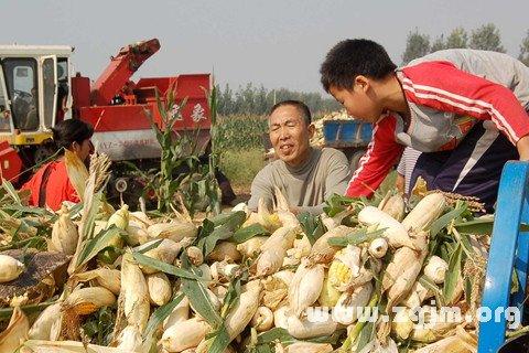 梦见收玉米