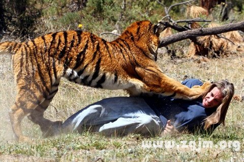 梦见老虎朝自己扑来