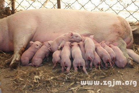梦见小猪吃奶
