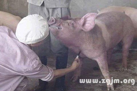 梦见猪把身体靠上来