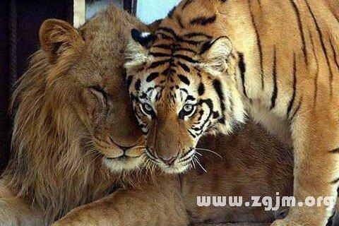 梦见狮子老虎打架