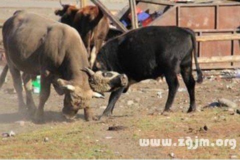 梦见两头牛打架