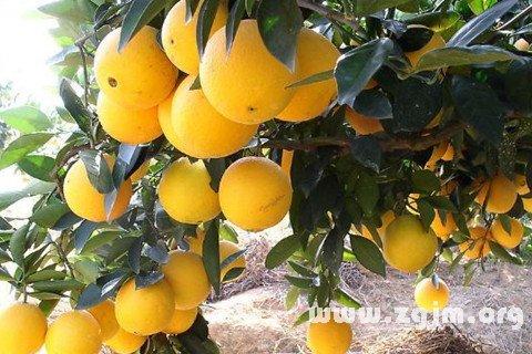 梦见橘柚橙柑