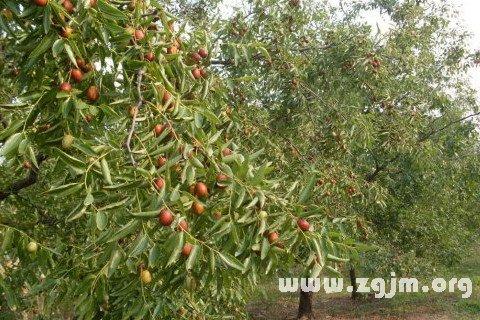 梦见种枣树