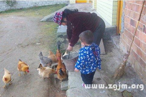梦见奶奶喂鸡