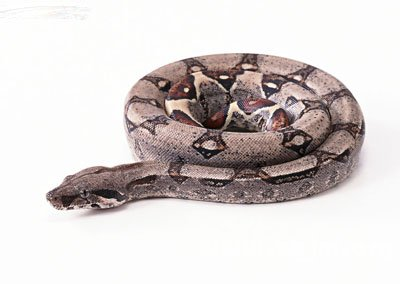 怀孕梦见大蟒蛇