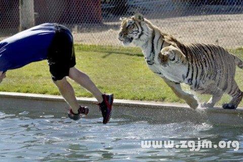 梦见老虎追我