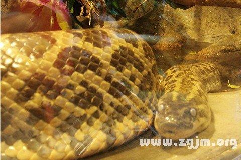 梦见很多大蟒蛇