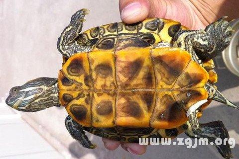 梦见抓乌龟_周公解梦梦到抓乌龟是什么意思_做梦梦见