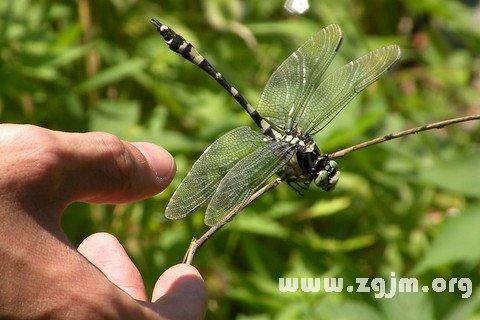 梦见抓蜻蜓