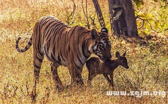 梦见和老虎玩