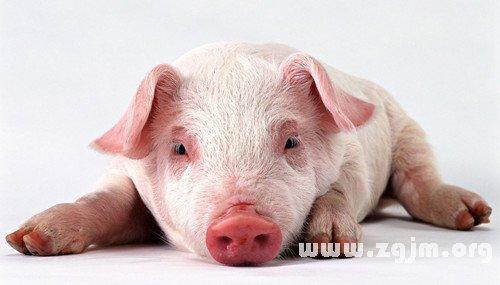 梦见被猪追赶