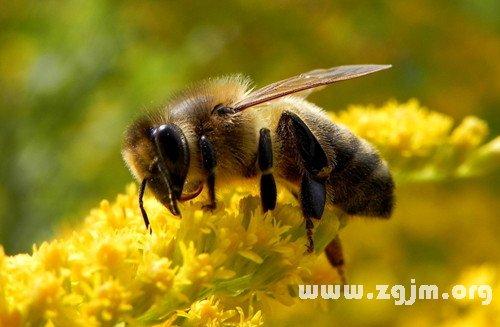 梦见蜜蜂采蜜
