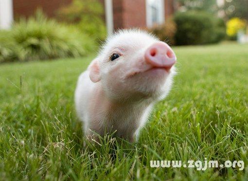 梦见猪追我