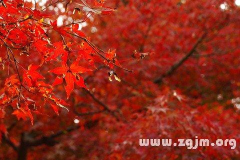 梦见树叶红了