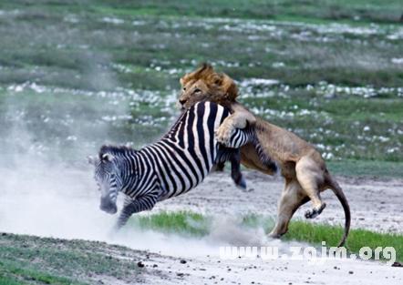 梦见动物打架