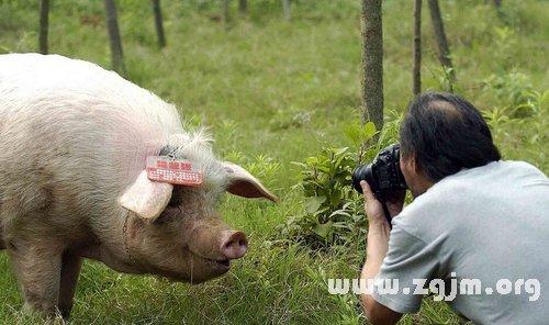 梦见自己在打猪