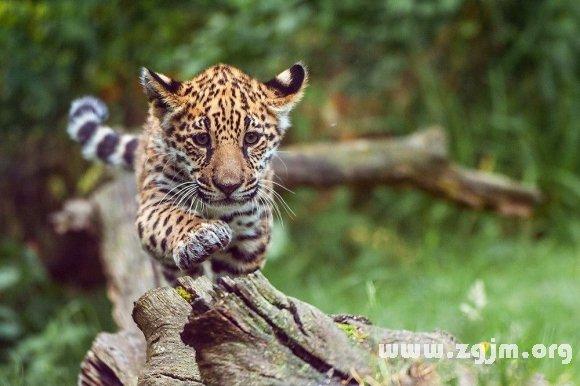 豹 豹子 壁纸 动物 虎 老虎 桌面 580_386