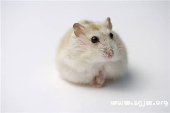 梦见宠物鼠是什么意思