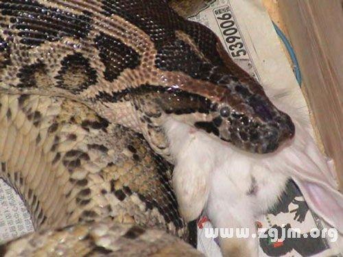 梦见蟒蛇和兔子在一起