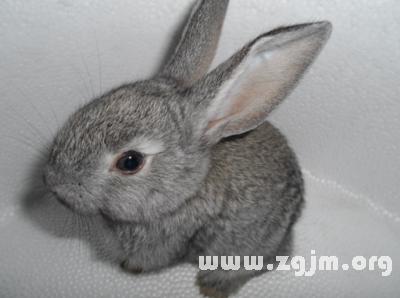 梦见灰色兔子