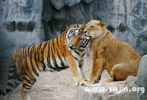 梦见老虎_梦见老虎狮子