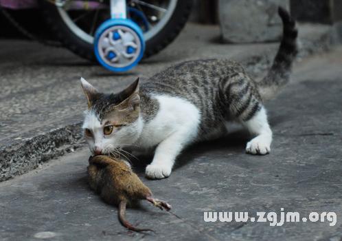 梦见猫抓老鼠_周公解梦
