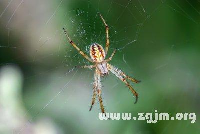 梦见大蜘蛛在家里结网