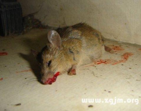 梦见自己打死了好多老鼠,还有血