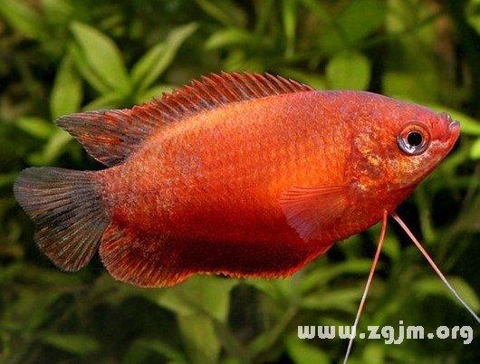 梦见红色的鱼_周公解梦